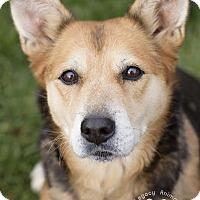 German Shepherd Dog Mix Dog for adoption in Cincinnati, Ohio - Bonnie