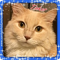 Adopt A Pet :: Tinker - affectionate lap cat - Tucson, AZ
