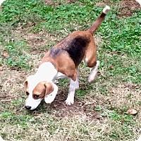 Adopt A Pet :: Chloe - Dumfries, VA