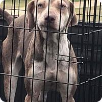 Adopt A Pet :: Gracie - Spring, TX