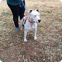Adopt A Pet :: Sassy - Chatham, VA