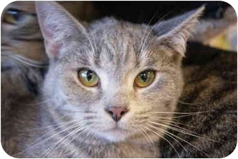 Domestic Shorthair Kitten for adoption in San Ramon, California - Chelsea