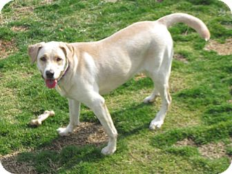 Labrador Retriever Mix Dog for adoption in Richmond, Virginia - Mandy