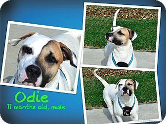 American Bulldog/Hound (Unknown Type) Mix Dog for adoption in Troy, Michigan - Odie