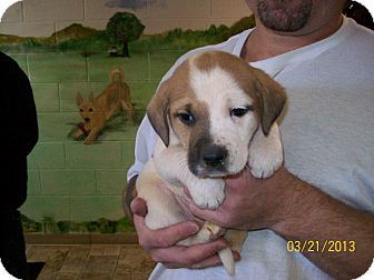 St. Bernard/Hound (Unknown Type) Mix Puppy for adoption in Sudbury, Massachusetts - ETHEL - ADOPTION PENDING