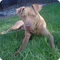 Adopt A Pet :: Hershey - Sacramento, CA