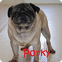 Adopt A Pet :: Porky - Hinckley, MN