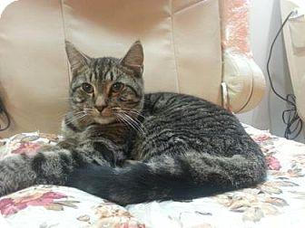 Domestic Shorthair Cat for adoption in New York, New York - Bori