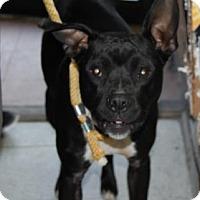 Adopt A Pet :: Athena - Brooklyn, NY