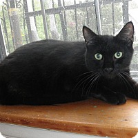Domestic Shorthair Cat for adoption in Highland Park, New Jersey - BLACKIE EVANS