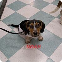 Adopt A Pet :: NOAH - Ventnor City, NJ