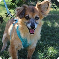 Pomeranian Mix Dog for adoption in Palmyra, New Jersey - Tucker