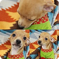 Terrier (Unknown Type, Medium)/Chihuahua Mix Puppy for adoption in Colton, California - ! 5 BRUNO