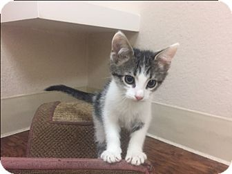 Domestic Shorthair Kitten for adoption in Dublin, California - Fiona