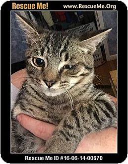 Domestic Shorthair Kitten for adoption in Waldorf, Maryland - Elmer