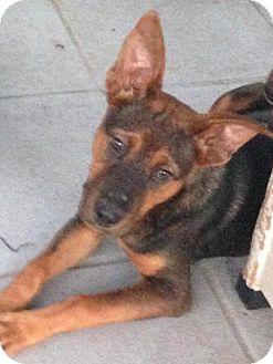 German Shepherd Dog Mix Puppy for adoption in Leesville, South Carolina - Rosie