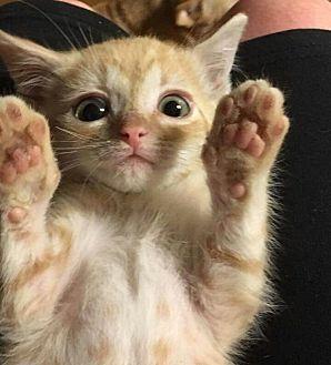 Calico Kitten for adoption in Bridgeton, Missouri - Keegan-fostered in KC