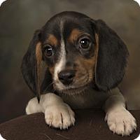 Adopt A Pet :: Bentley Beagle - St. Louis, MO