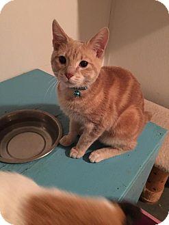 Domestic Shorthair Kitten for adoption in Hanna City, Illinois - Whagaman-adoption pending