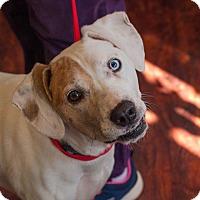 Adopt A Pet :: Darcie Blue Eye - Buffalo, NY
