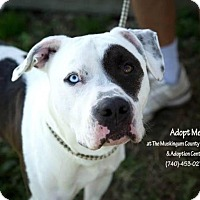 Adopt A Pet :: Patches - Urgent! - Zanesville, OH