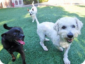 Chihuahua/Schipperke Mix Dog for adoption in Dublin, California - Romeo