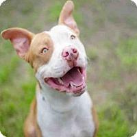 Pit Bull Terrier Dog for adoption in Long Beach, California - *LENNY