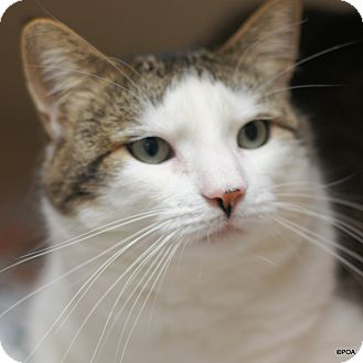 Domestic Shorthair Cat for adoption in East Hartford, Connecticut - Forest
