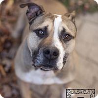 Staffordshire Bull Terrier Dog for adoption in Fredericksburg, Virginia - Spotsylvania Shelter #16-  Darcy
