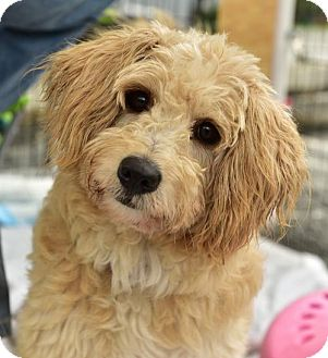 Cockapoo Mix Dog for adoption in Marina Del Ray, California - REXY - video to view