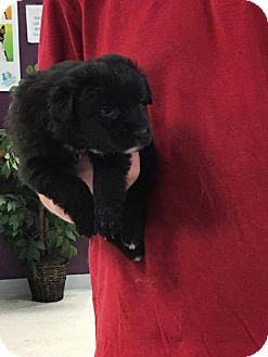 German Shepherd Dog Mix Dog for adoption in Maple Grove, Minnesota - Thor