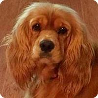 Adopt A Pet :: Ariel - Austin, TX