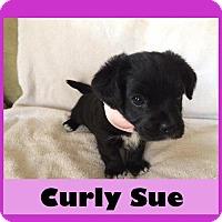 Adopt A Pet :: Curly Sue - Medford, NJ
