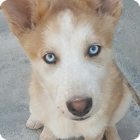 Adopt A Pet :: Rolly - Apple valley, CA