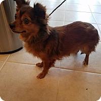 Adopt A Pet :: Princess - Chantilly, VA