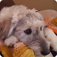Adopt A Pet :: Millie - Beautiful Tibetan Terrier Mix - Seattle, WA