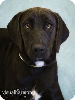 Labrador Retriever Puppy for adoption in Phoenix, Arizona - Kelsey