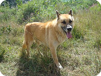 German Shepherd Dog/Shepherd (Unknown Type) Mix Dog for adoption in Redmond, Washington - King