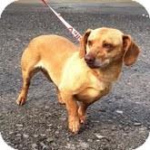 Dachshund Mix Dog for adoption in Brattleboro, Vermont - Danbury ($300 adoption fee)
