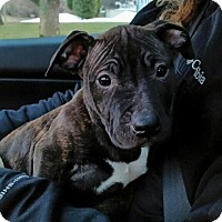 Adopt A Pet :: Shiera - bridgeport, CT