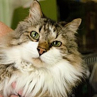 Maine Coon Cat for adoption in Eldora, Iowa - Matt/pending