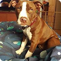 Adopt A Pet :: Xena - Villa Park, IL