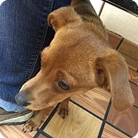 Adopt A Pet :: Reid - Norman, OK