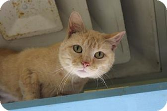 Domestic Shorthair Cat for adoption in Indianapolis, Indiana - Malley