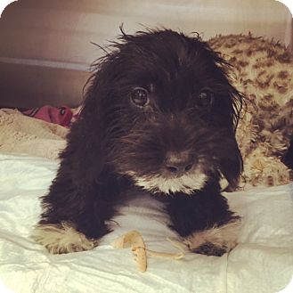 Terrier (Unknown Type, Medium) Mix Puppy for adoption in Marina del Rey, California - Soul
