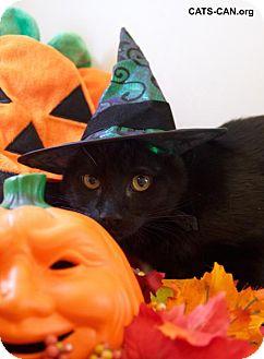 Domestic Shorthair Kitten for adoption in Oviedo, Florida - Joey