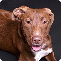 Adopt A Pet :: Thumper - Sudbury, MA