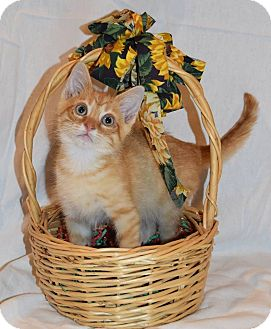 Domestic Mediumhair Kitten for adoption in Naperville, Illinois - Figaro