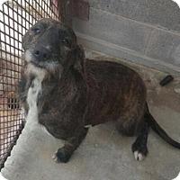 Adopt A Pet :: Eagle Lake Pound Scruffy Dog - Cat Spring, TX