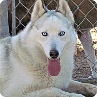 Adopt A Pet :: Suki - San Tan Valley, AZ